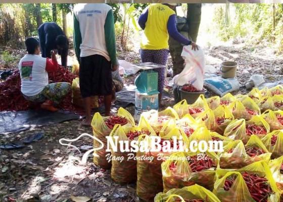 Nusabali.com - petani-cabai-sambangan-masuki-masa-panen