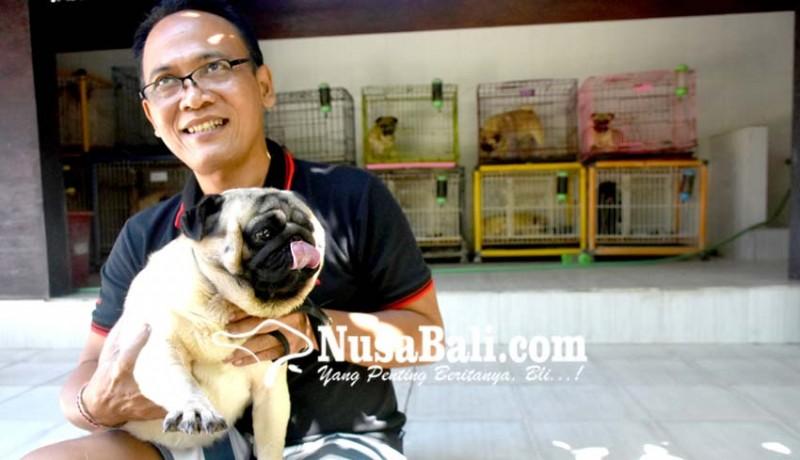 www.nusabali.com-pelihara-anjing-pug-mulai-dari-hobi-hingga-bisnis