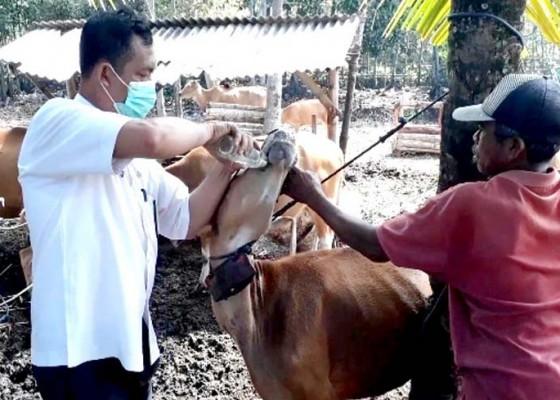 Nusabali.com - peternak-sapi-diingatkan-hindari-perkawinan-sedarah