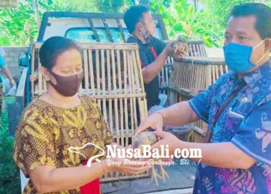 Nusabali.com - seribu-anakan-ayam-kampung-dibagikan-untuk-kelompok-wanita-tani