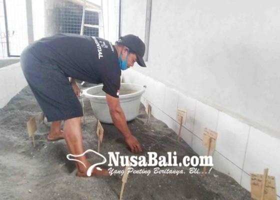 Nusabali.com - pandemi-konservasi-penyu-di-penimbangan-tak-surut