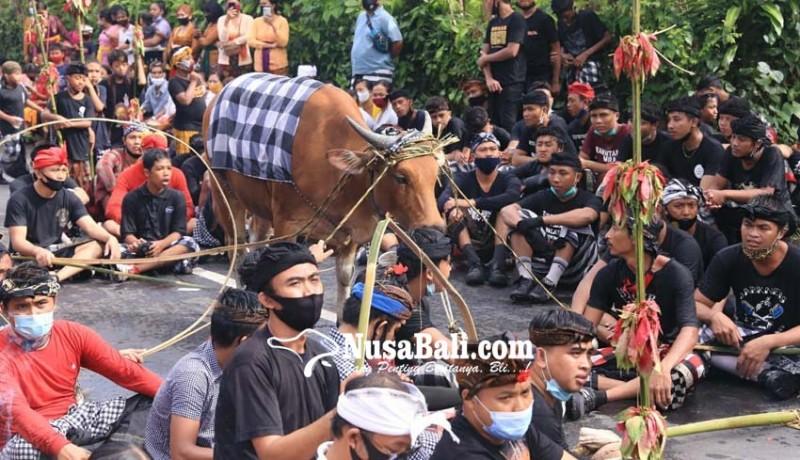 www.nusabali.com-krama-berebut-ceceran-darah-sapi-untuk-dioleskan-ke-sekujur-tubuh