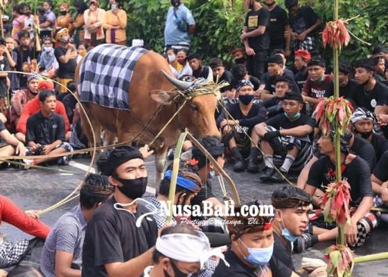 Nusabali.com - krama-berebut-ceceran-darah-sapi-untuk-dioleskan-ke-sekujur-tubuh