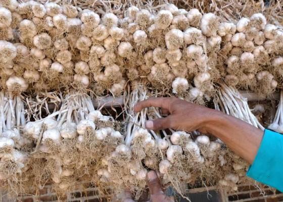 Nusabali.com - swasembada-bawang-putih-ditarget-2024