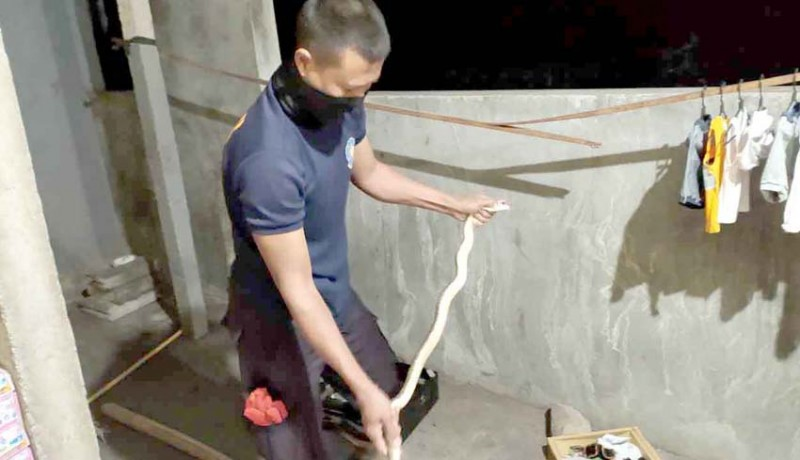 www.nusabali.com-kobra-masuk-rumah-warga-minta-bantuan-damkar