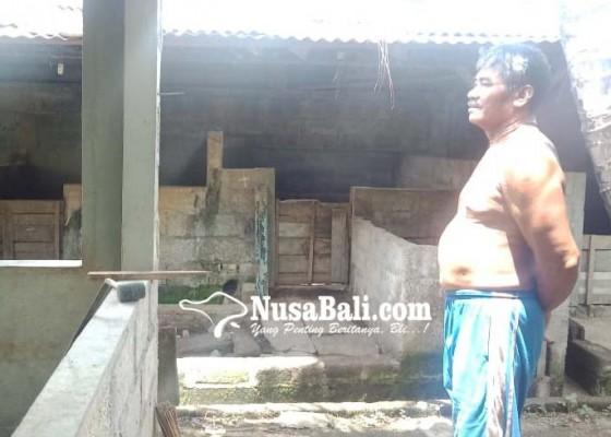Nusabali.com - peternak-trauma-pelihara-babi