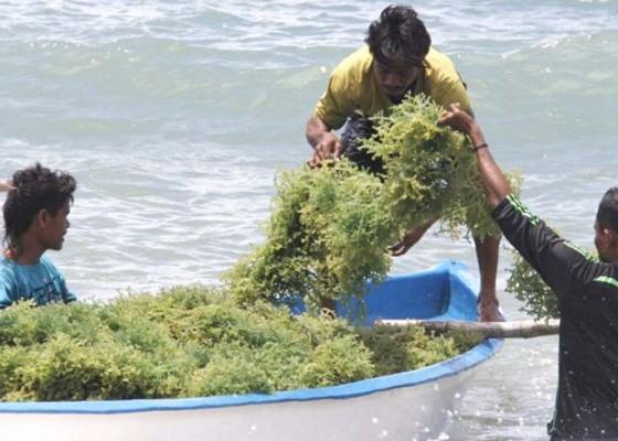 Nusabali.com - nilai-tambah-rumput-laut-diolah-jadi-mi-dan-jus