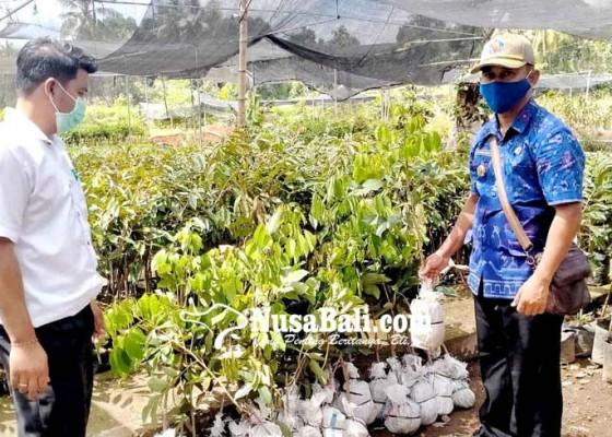 Nusabali.com - pembibitan-tanaman-buah-di-sudaji-memanen-rezeki