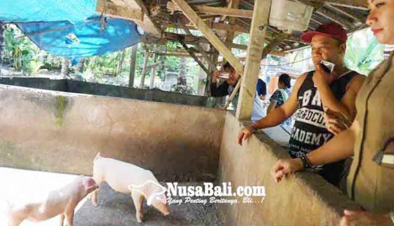 www.nusabali.com-harga-babi-stabil-stok-galungan-mencukupi