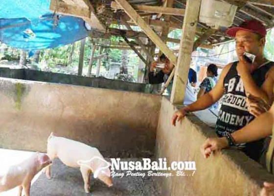 Nusabali.com - harga-babi-stabil-stok-galungan-mencukupi