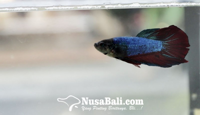 www.nusabali.com-ini-dia-3-tips-piara-ikan-cupang