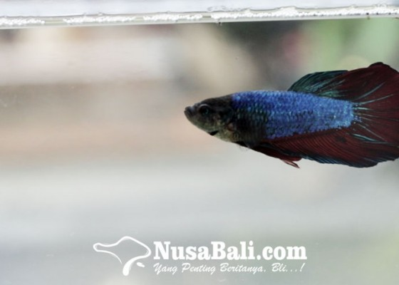 Nusabali.com - ini-dia-3-tips-piara-ikan-cupang