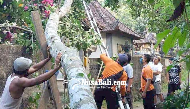 www.nusabali.com-pohon-nangka-tumbang-timpa-angkul-angkul