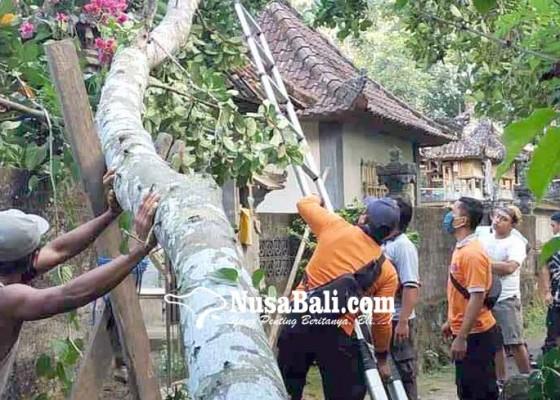 Nusabali.com - pohon-nangka-tumbang-timpa-angkul-angkul