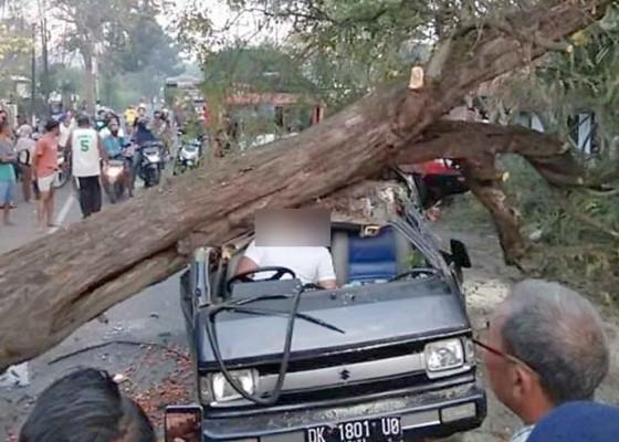 Nusabali.com - tabrak-pohon-tumbang-pengemudi-tewas-tergencet