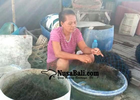 Nusabali.com - lesu-penjualan-bulung-di-serangan