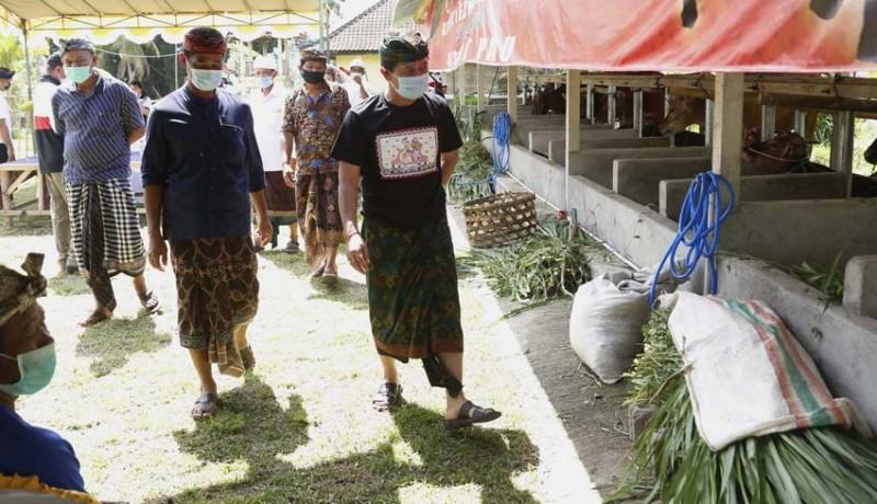 www.nusabali.com-usaha-ternak-sapi-tetap-bangkit