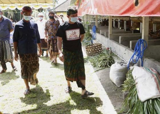 Nusabali.com - usaha-ternak-sapi-tetap-bangkit