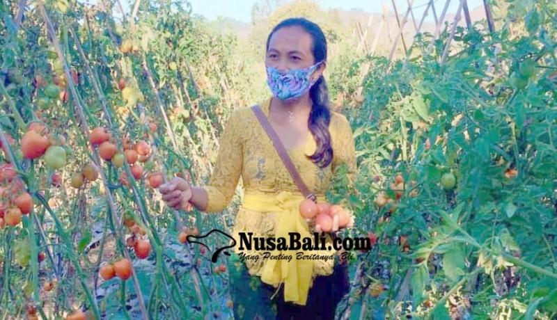 www.nusabali.com-harga-tomat-anjlok