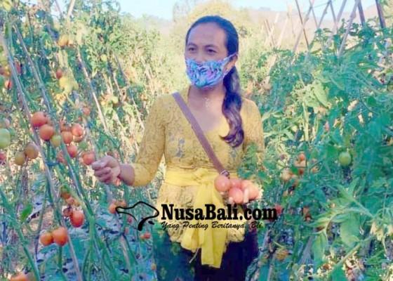 Nusabali.com - harga-tomat-anjlok