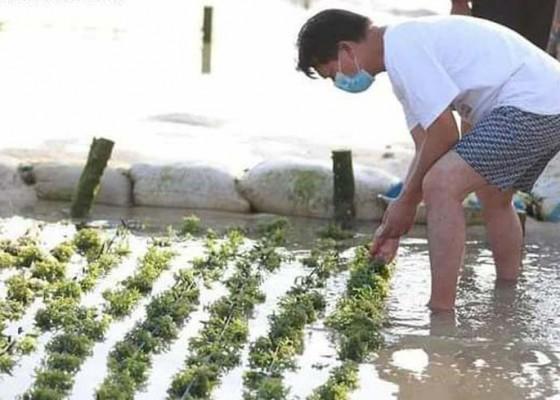 Nusabali.com - rumput-laut-nusa-penida-kembali-menjadi-primadona
