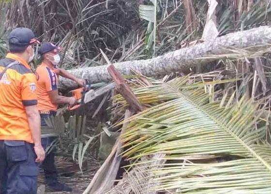 Nusabali.com - pohon-tumbang-timpa-atap-dapur-dan-rumah