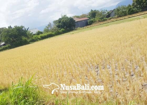 Nusabali.com - puluhan-hektare-lahan-padi-di-buleleng-gagal-panen