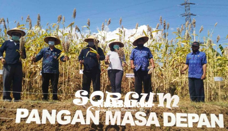 www.nusabali.com-desa-tegallinggah-panen-perdana-sorgum