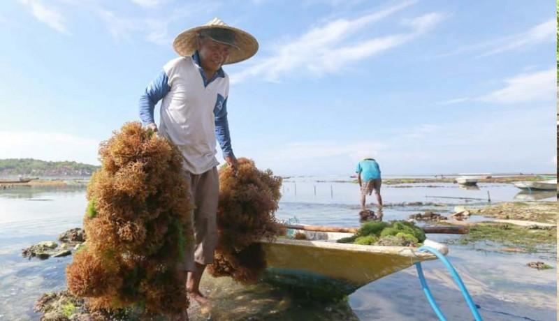 www.nusabali.com-stabilkan-harga-rumput-laut-pemkab-gandeng-perusahaan