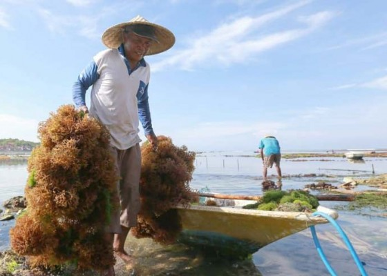 Nusabali.com - stabilkan-harga-rumput-laut-pemkab-gandeng-perusahaan