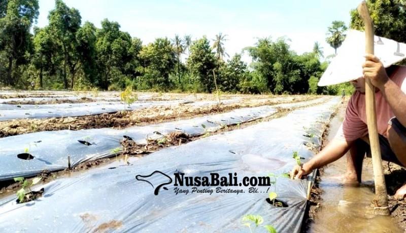 www.nusabali.com-sepi-proyek-pengusaha-konstruksi-ini-pilih-tanam-cabai