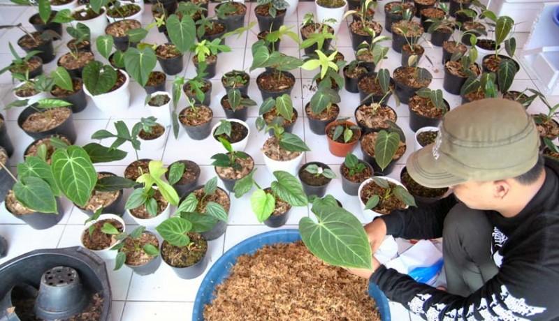 www.nusabali.com-ekspor-tanaman-hias-di-tengah-pandemi