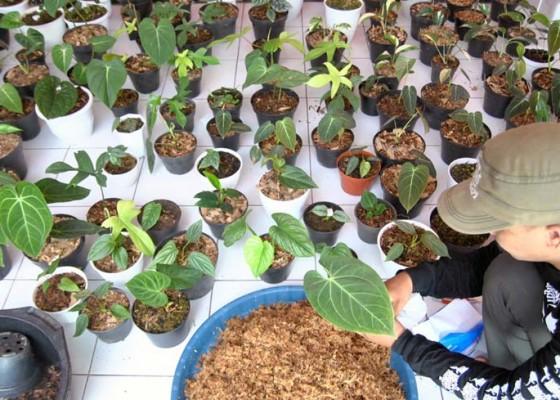 Nusabali.com - ekspor-tanaman-hias-di-tengah-pandemi