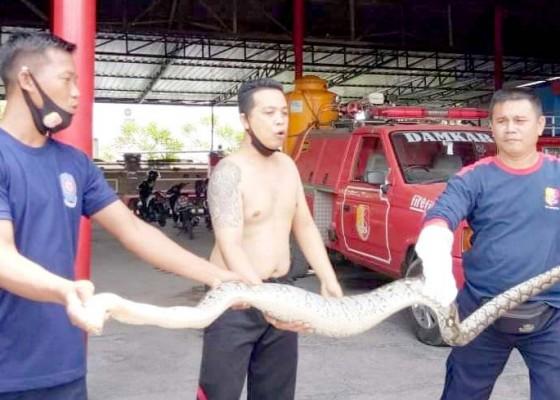 Nusabali.com - ular-piton-3-meter-gegerkan-penarukan