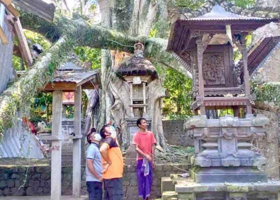 Nusabali.com - pura-pamaksan-kancing-gumi-tertimpa-dahan-pohon