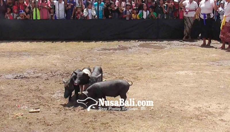 www.nusabali.com-babi-hitam-diprogram-inseminasi-buatan