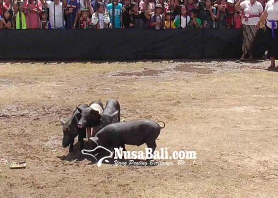 Nusabali.com - babi-hitam-diprogram-inseminasi-buatan