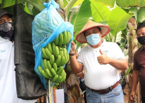 Nusabali.com - persil-pekutatan-panen-pisang-cavendish