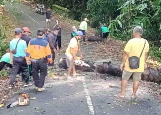 Nusabali.com - pohon-tumbang-tutup-jalan-menuju-pura-dalem-bebalang-carangsari