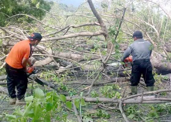 Nusabali.com - pohon-santen-tumbang-timpa-kabel-listrik