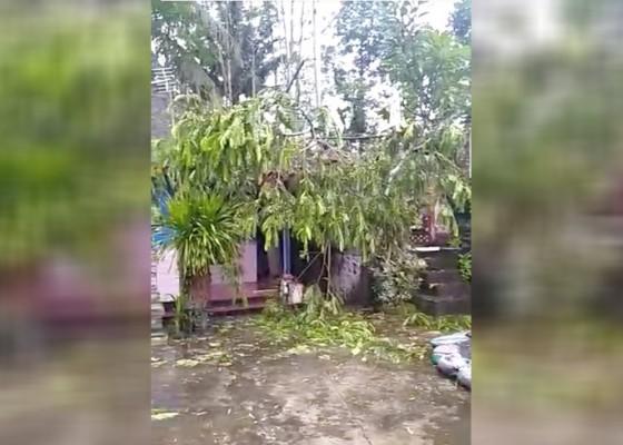 Nusabali.com - pohon-tumbang-timpa-rumah