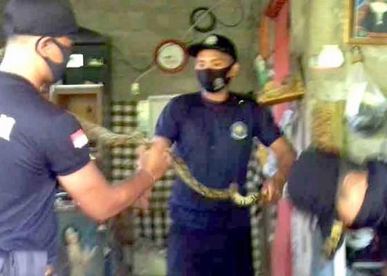 Nusabali.com - petugas-damkar-tangkap-ular-piton