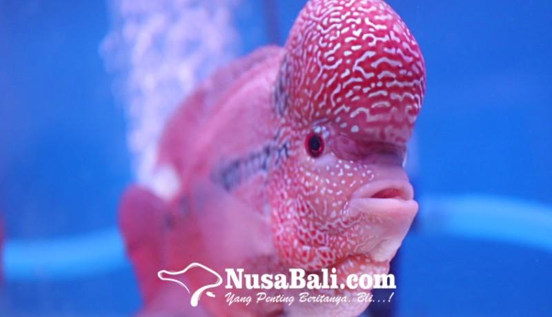 www.nusabali.com-kembali-populer-102-peserta-pamerkan-ikan-louhan