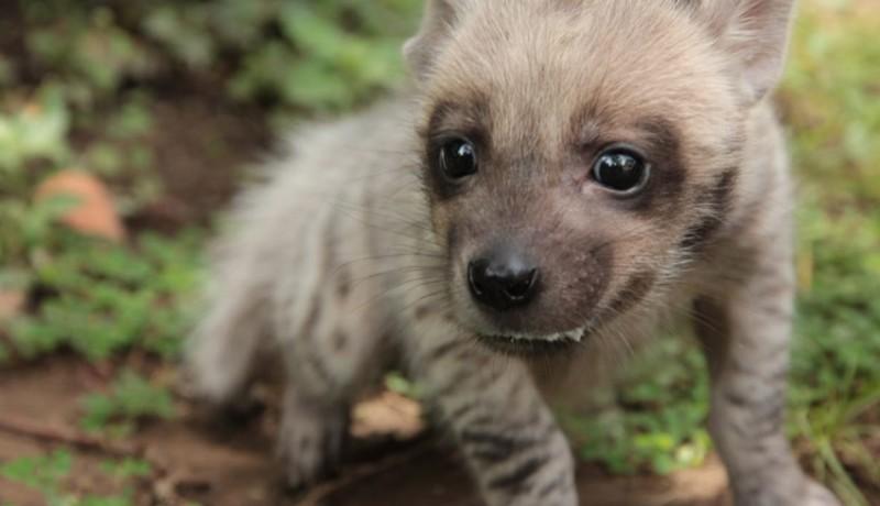 www.nusabali.com-hyena-lahir-di-bali-safari
