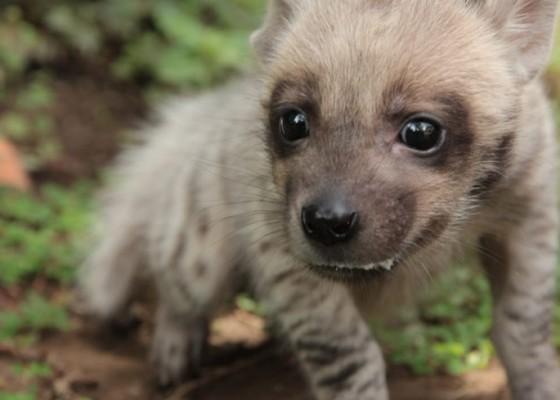 Nusabali.com - hyena-lahir-di-bali-safari