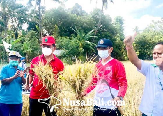 Nusabali.com - uji-coba-padi-m70d-sukses-di-subak-buug