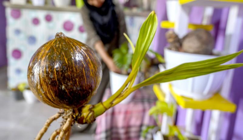 www.nusabali.com-budi-daya-tanaman-hias-kelapa-bonsai
