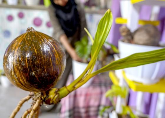 Nusabali.com - budi-daya-tanaman-hias-kelapa-bonsai