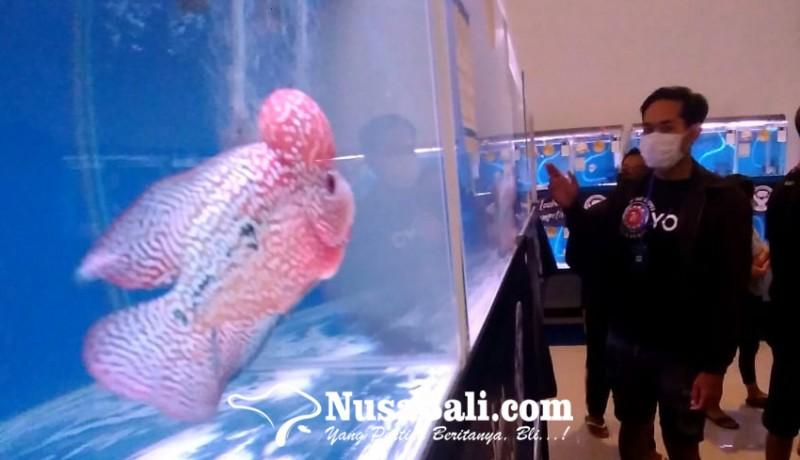www.nusabali.com-kompetisi-ikan-louhan