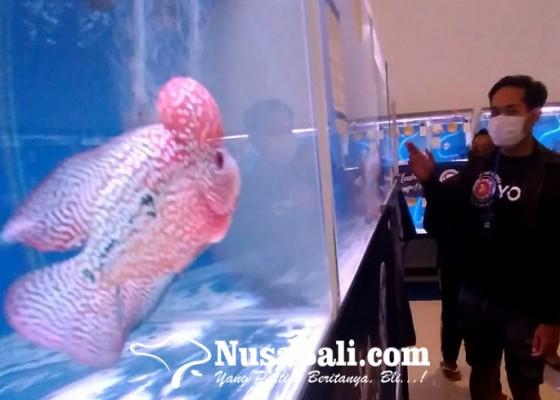 Nusabali.com - kompetisi-ikan-louhan